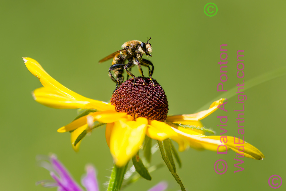 Wild bee on blackeyed Susan blossom, selective focus, mountain meadow, Jemez Mountains, NM. © 2010 David A. Ponton