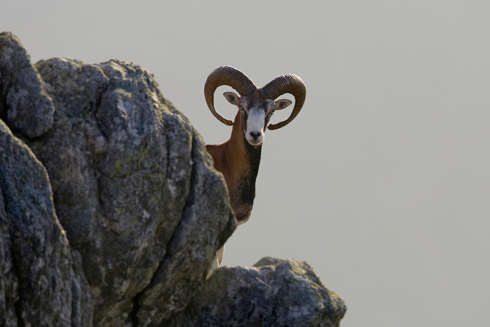 Mouflon/Ovis musimon/male on rock/Parc naturel regional du Haut-Languedoc/Caroux/France