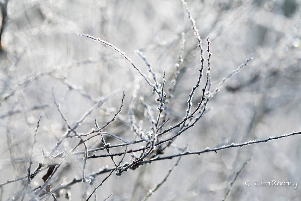 Frost coated twigs in the garden at Chiswick House, Chiswick, London, UK