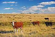 Cattle. Hereford<br /> Cypress Hills<br /> Saskatchewan<br /> Canada