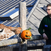 Nick Garrett is a Zoo keeper for giraffes for a Halloween treats and Smashing pumpkins at ZSL London Zoo on 25 October 2018.