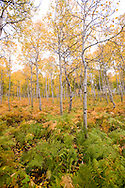 Aspen forest and ferns in autumn on Alpine Loop Scenic Byway above Sundance, Utah.