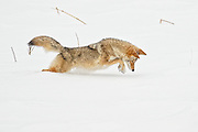A coyote (Canis latrans) pounces in deep snow for a mouse near the Madison River in Yellowstone National Park, Wyoming. The coyote has a highly developed sense of smell and is able to find food by smelling it below the snow.