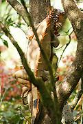A geen iguana or common iguana (Iguana iguana) on a tree. Photographed Arenal Volcano, Costa Rica