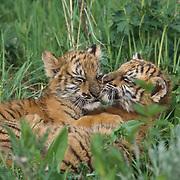 Siberian tiger cubs. Captive Animal