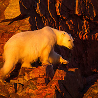Canada, Nunavut Territory, Setting midnight sun lights Polar Bear (Ursus maritimus) climbing on rocky coast of Hall Islands along Hudson Bay