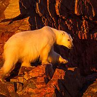 Canada, Nunavut Territory, Setting midnight sun lights Polar Bear (Ursus maritimus) climbing on rocky coast of Hall Islands along Hudson Bay