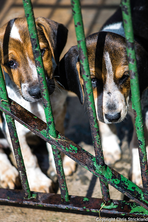 Abbotrule, Bonchester Bridge, Hawick, Scotland, UK. 9th July 2015. Foxhound pups of the Jedforest Hunt from bitch 'Dewdrop' enjoy the warm weather in their kennels in the Scottish Borders.