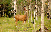 Mule Deer Amid Aspens in the Uncompahgre National Forest Colorado