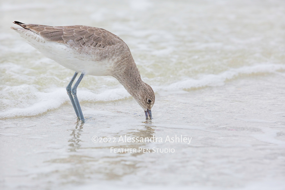 Willet finds food at water's edge, with beak probing the sand.