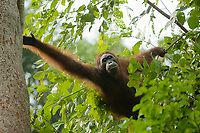 "Bornean Orangutan <br />Wurmbii Sub-species<br />(Pongo pygmaeus wurmbii)<br /><br />Unflanged male ""Ned"" climbing onto Artocarpus withe Ficus stupenda.<br /><br />Gunung Palung Orangutan Project<br />Cabang Panti Research Station<br />Gunung Palung National Park<br />West Kalimantan Province<br />Island of Borneo<br />Indonesia"