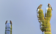 SONORAN WINTERS AREN'T WHAT THEY USED TO BE | Two aging couples of Gilded Flickers grumble about climate change
