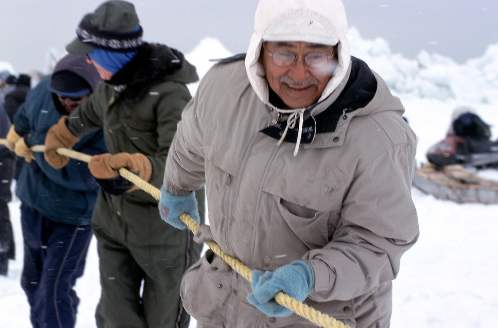 Barrow, Alaska, North Slope Borough Iñupiat Government's Mayor Edward Itta a member of the Barrow whaling community helps many other men haul the carcass of a bowhead whale out of the Chukchi Sea onto sea ice