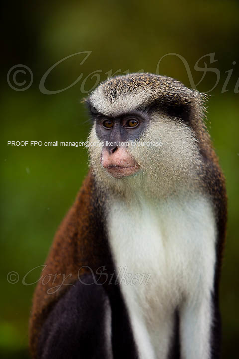 Mona monkeys (Cercopithecus mona) in Grand Etang National Park