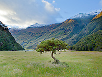 An ancient evergreen stands defiantly in a valley deep in Aspiring National Park. South Island, New Zealand.