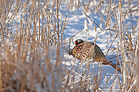 This Ring Necked Pheasant lays low to the ground when vegetation is spars they lay close to the ground to hide from predators and photographers!
