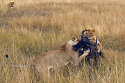Lionesses signal each other with there tails before the attack of the wildebeest. There lionesses were signaling each other, and two jump onto the wildebeest simultaneously.