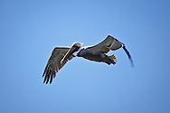 A brown pelican in flight at Lighthouse Point on Sanibel Island, Florida.