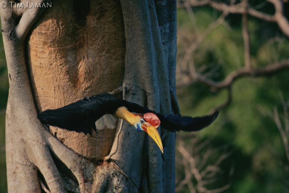 Male Knobbed Hornbill (Aceros cassidix) leaving his nest..Tangkoko Batuangus/Dua Saudara Nature Reserve, Sulawesi Island, Indonesia.