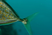 Back tail from Yellow-Spotted Trevally (Carangoides orthogrammus) Raja Ampat, West Papua, Indonesia, Pacific Ocean
