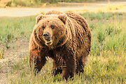 Large Grizzly Bear Approaching in Lake Clark National Park Alaska