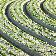 A crop of lettuce growing in rows on a vegetable farm.<br />