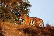"Big male Bengal tiger (Panthera tigris tigris) known as T-29 ""Chhota Munna"" from Kanha National Park (Mukki Range) photographed in February 2019."