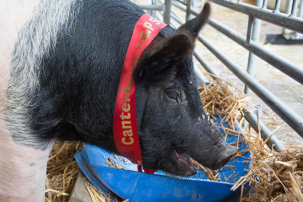 Hamshire Boar, Rammstein owned by JP Pigs of Timaru proudly wears a ribbon as he enjoys a treat from his trough after winning Supreme Champion All Breeds Pig at the Canterbury A&P Show, Christchurch,  New Zealand, Thursday, November 13, 2014. Credit: SNPA/David Alexander