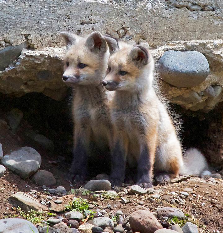 Fox Kitts, Soda Butte Creek