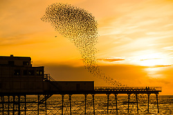 © Licensed to London News Pictures. 28/03/2018. Aberystwyth, Wales, UK. Thousands of starlings perform their nightly 'murmurations', a balletic display of co-ordinated movements, in the air above Aberystwyth's seaside pier as the sun sets over Cardigan Bay. Very soon the birds will depart en-masse as they migrate to their summer breeding grounds in Scandinavia, and won't be seen here again until their return in October. Photo credit: Keith Morris/LNP