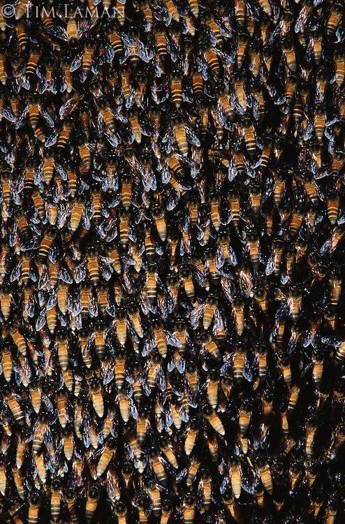 Close up of honey bees on their hive in Subterranean River National Park..Palawan Island, Philippines.  Oct 01.