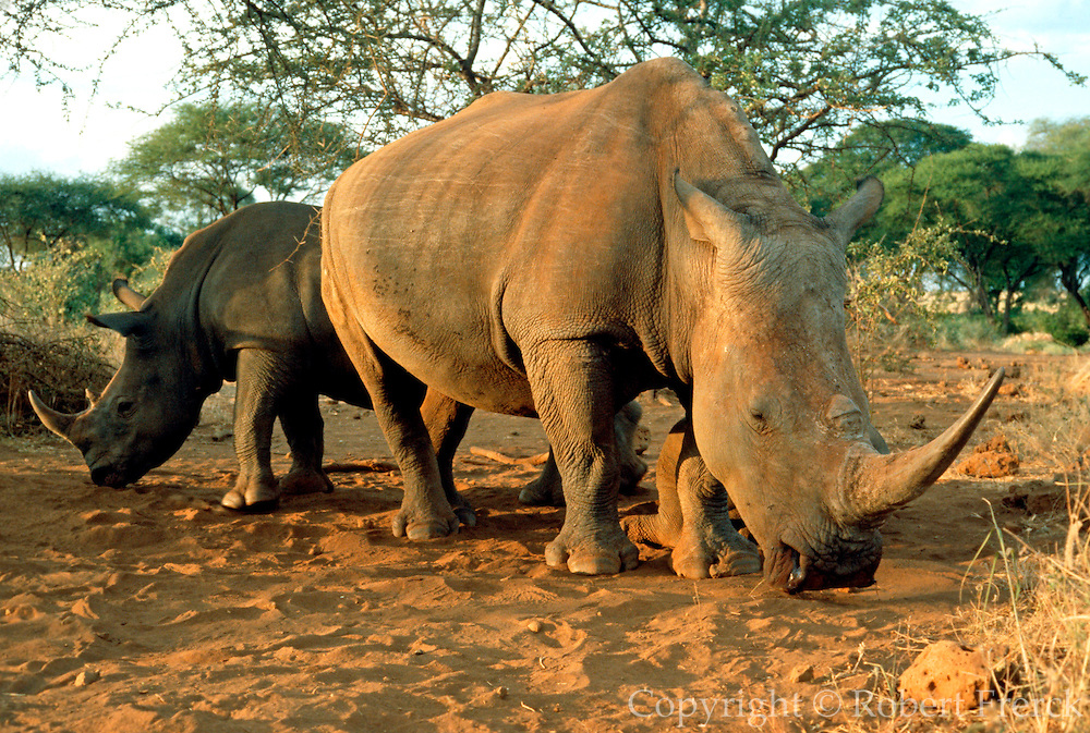 KENYA, AMBOSELI a pair of wild white rhinoceros now  endangered in Amboseli National Reserve