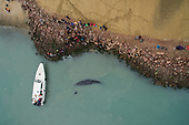 Stranded sperm whale in china