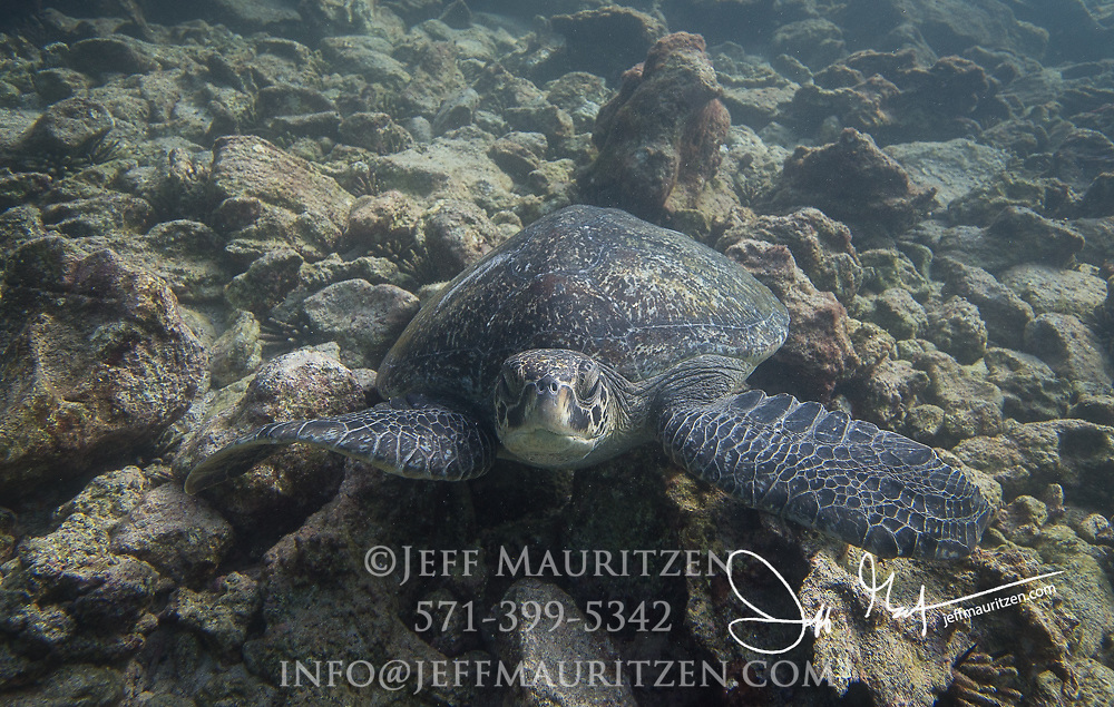 A Galapagos green sea turtle seen on the seafloor near Rabida island, part of the Galapagos islands, Ecuador.
