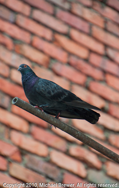 Closeup of a pigeon roosting against a background of a red brick wall in Singapore, Asia.