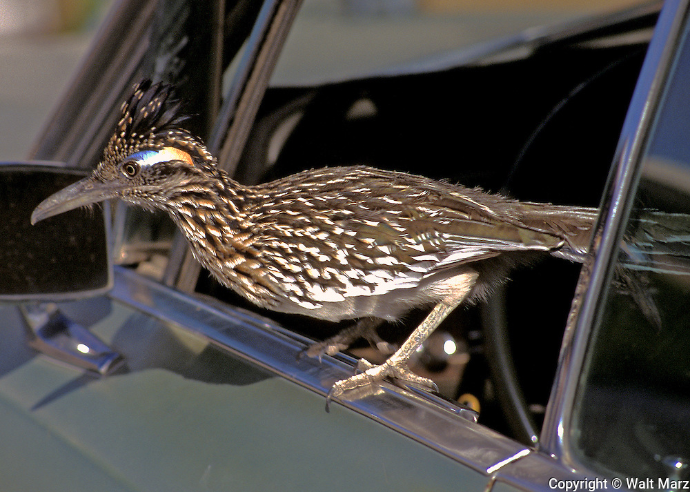 "Roadrunner getting out of a car in parking lot of hotel in Arizona.  Aka by cowboys as the ""Chaparral Cock"" Primarily a southwestern ground bird of deserts, sagebrush, chaparral, and dry brush.  Runs as fast as humans."