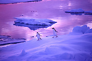 Adele penguins on iceberg, Antarctic Peninsula.