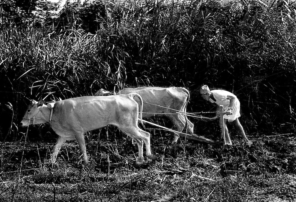 Egyptian farmer bent over a simple, ancient,  plow, as it is being pulled by a pair of cows.  Telephoto shot compresses their bent pale shapes against a stand of tall grasses.