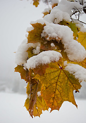25.10.2010, Kaprun, AUT, Wintereinbruch Salzburger Land, im Bild herbstliche Ahornblätter mit Schnee bedeckt, EXPA Pictures © 2010, PhotoCredit: EXPA/ J. Feichter
