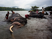 Working elephants get their morning bath from their handlers in Kerala, India