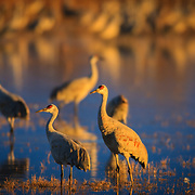 The sandhill cranes of Bosque del Apache National Wildlife Refuge in New Mexico at sunset.