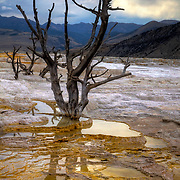 This lone sentinel stands in the Upper Terrace of Mammoth Hot Springs. It is probably one of the most photographed trees in Yellowstone National Park.
