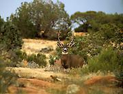 Mule deer buck during the rut. Book Cliffs, northeast Utah.