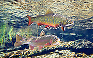 Brook Trout (with Klamath River Rainbow Trout)<br />