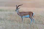 Grant's gazelle (Nanger granti) in Maasai Mara, Kenya.