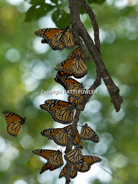 Monarchs gathering on tree limb