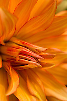 Portrait of a radiant orange Dahlia flower bursting forth in all its splendor.