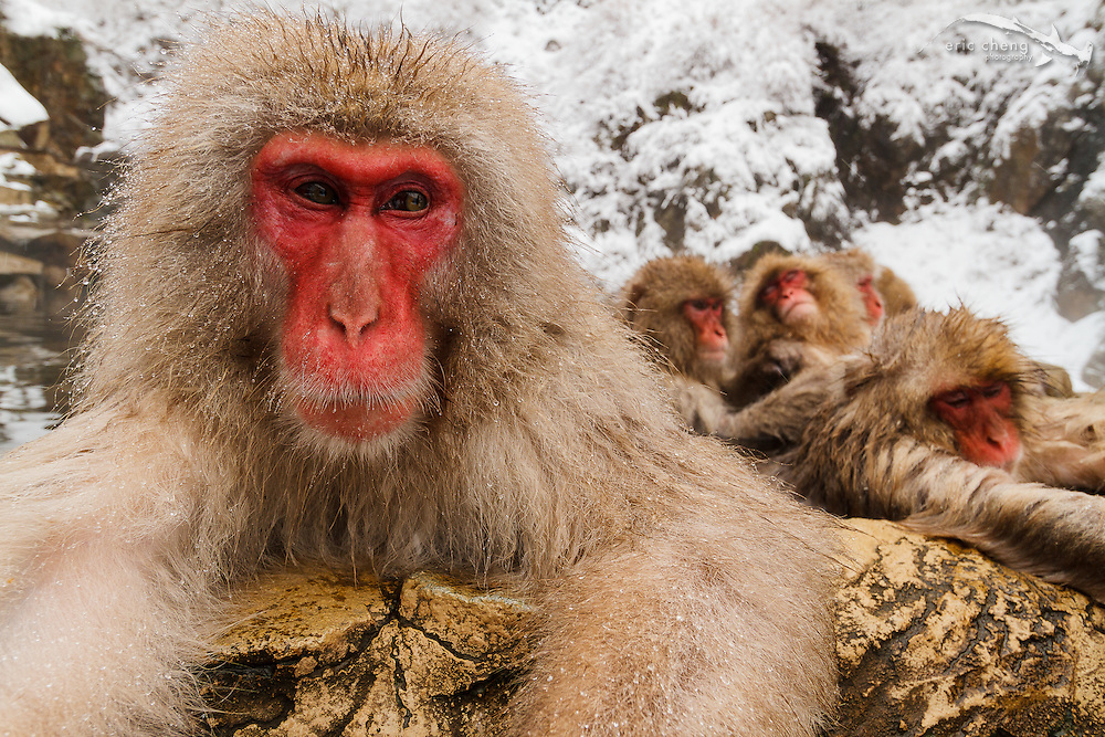A snow monkey relaxes in a hot spring (Japanese macaque, Macaca fuscata). Jigokudani Yaen-Koen near Shibu Onsen, Japan.