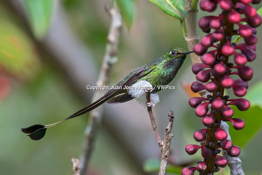 Booted Racket-tail (Ocreatus underwoodii) male, Valle del Cauca