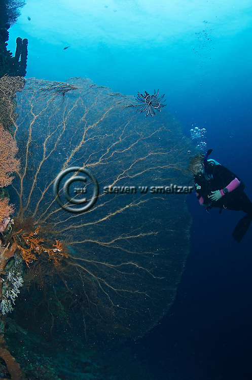 Gorgonian Venus Sea Fan, Gorgonia flabellum, Bali Indonesia